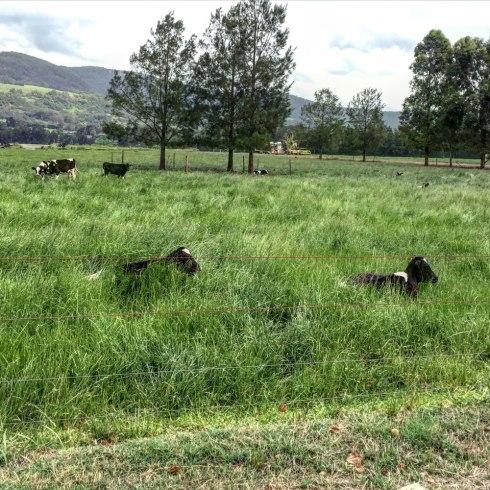 Kangaroo-Valley-Cows-by-Claudia-Owen